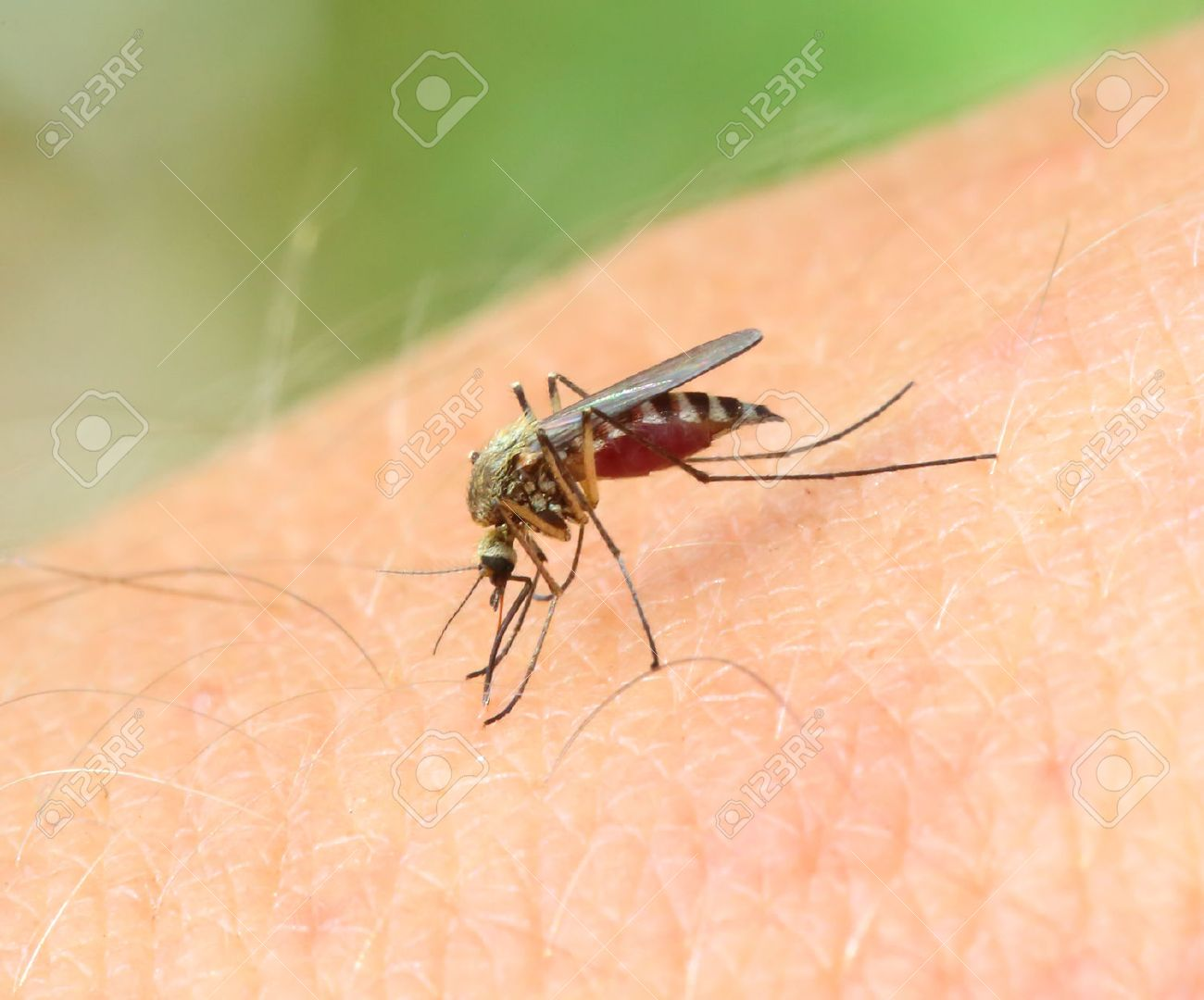 mosquito drinks blood out of man - macro shot - 28607273