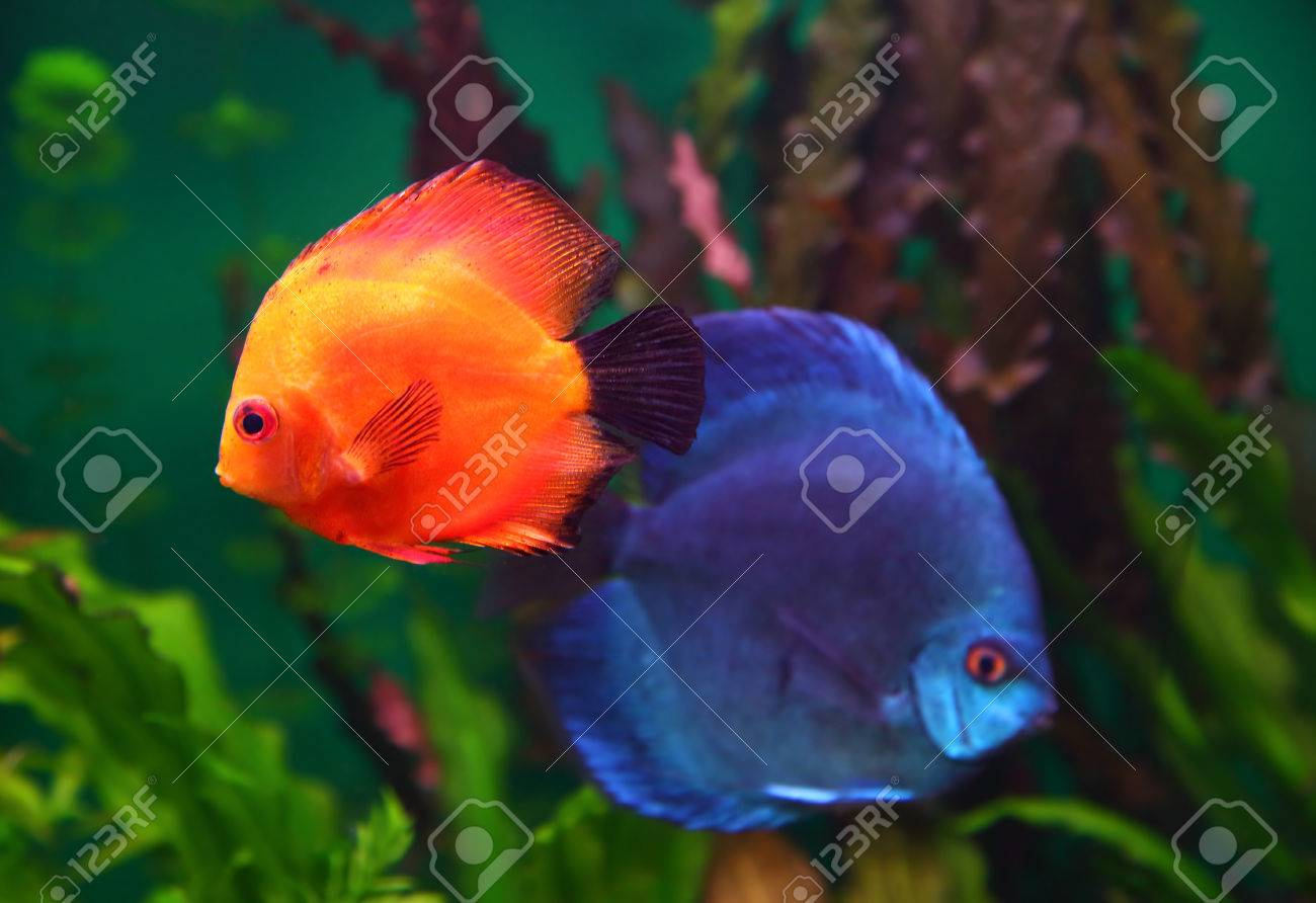 Red And Blue Discus Fish In Aquarium Stock Photo Picture And