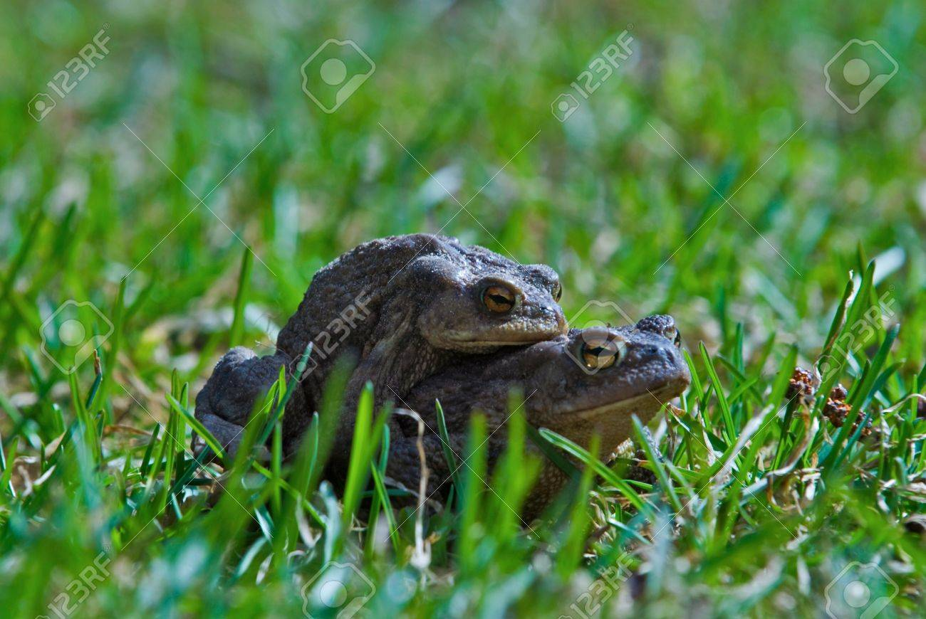 Two Frogs In The Garden Stock Photo Picture And Royalty Free