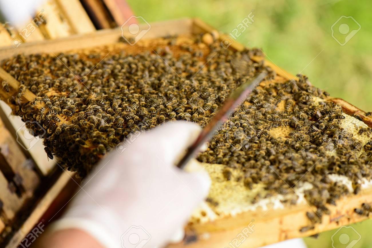 Mit Blick Auf Die Schulter Imker Auf Den Wabenrahmen Mit Bienen Und ...