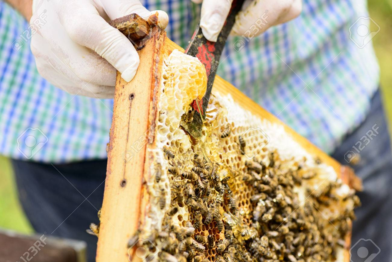 Removing Wild Assembled Honeycomb In Beehive Frames By The ...