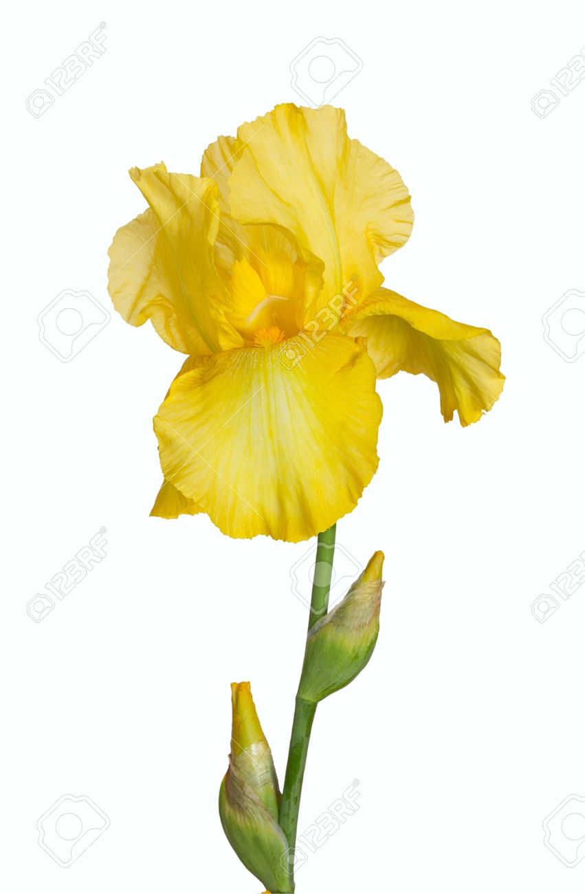 yellow iris. flower on a white background stock photo, picture and, Natural flower