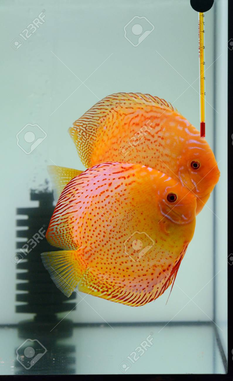 fire discus in aquarium Stock Photo - 16537311