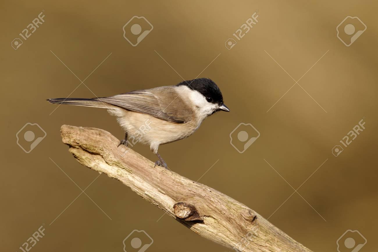 Marsh tit, Poecile palustris, single bird on branch, Warwickshire, January 2012 Stock Photo - 22641485