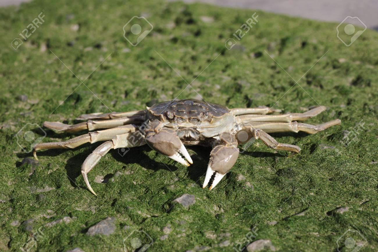 Chinese mitten crab, Eriocheir sinensis, Thames, London, October 2009 Stock Photo - 22684892