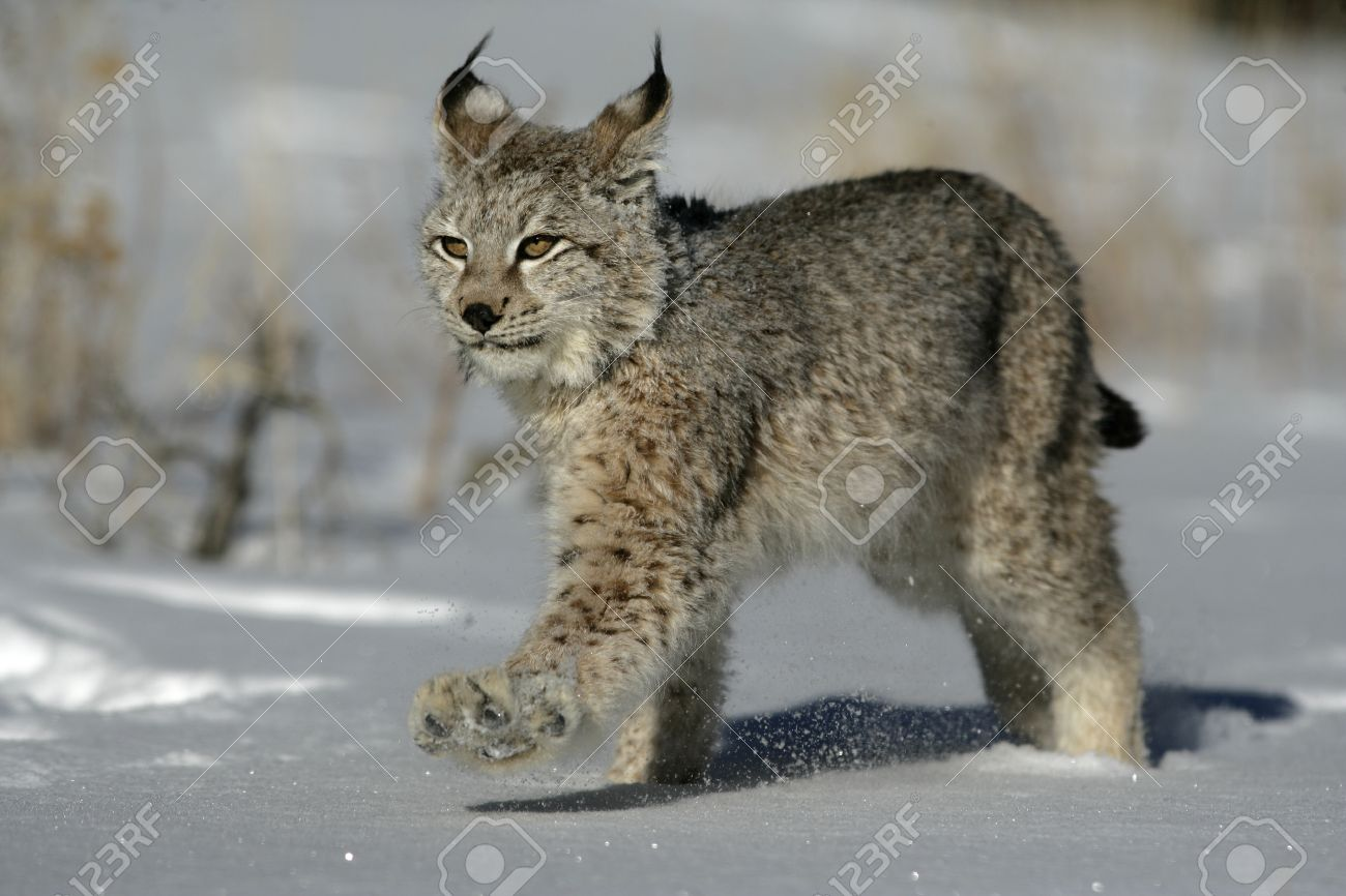 Siberian Lynx, Lynx Lynx Stock Photo, Picture And Royalty Free Image. Image  23372621.