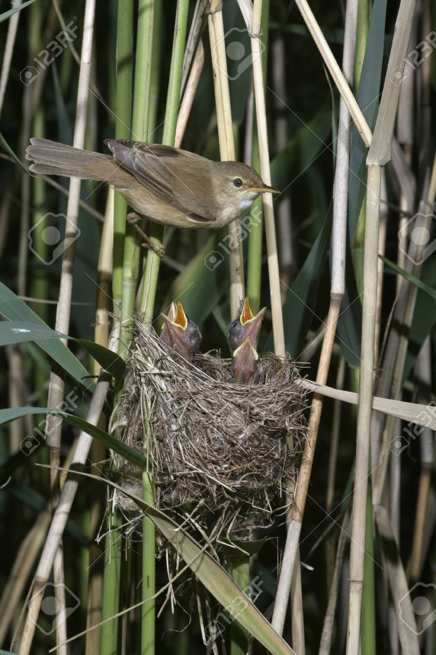 Reed Warbler Acrocephalus Scirpaceus Single Bird On Nest Uk Stock Photo Picture And Royalty Free Image Image 24816175