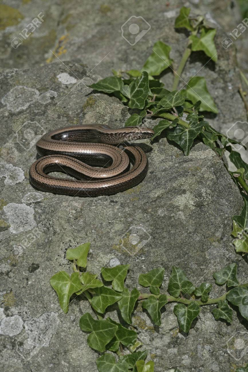Slow worm, Anguis fragilis, single reptile in churchyard, Warwickshire Stock Photo - 24839383