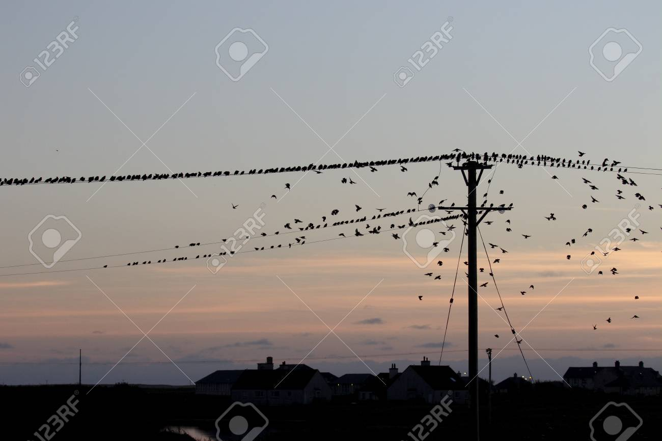 Starling, Sturnus Vulgaris. Group On Telegraph Wires Gathering ...