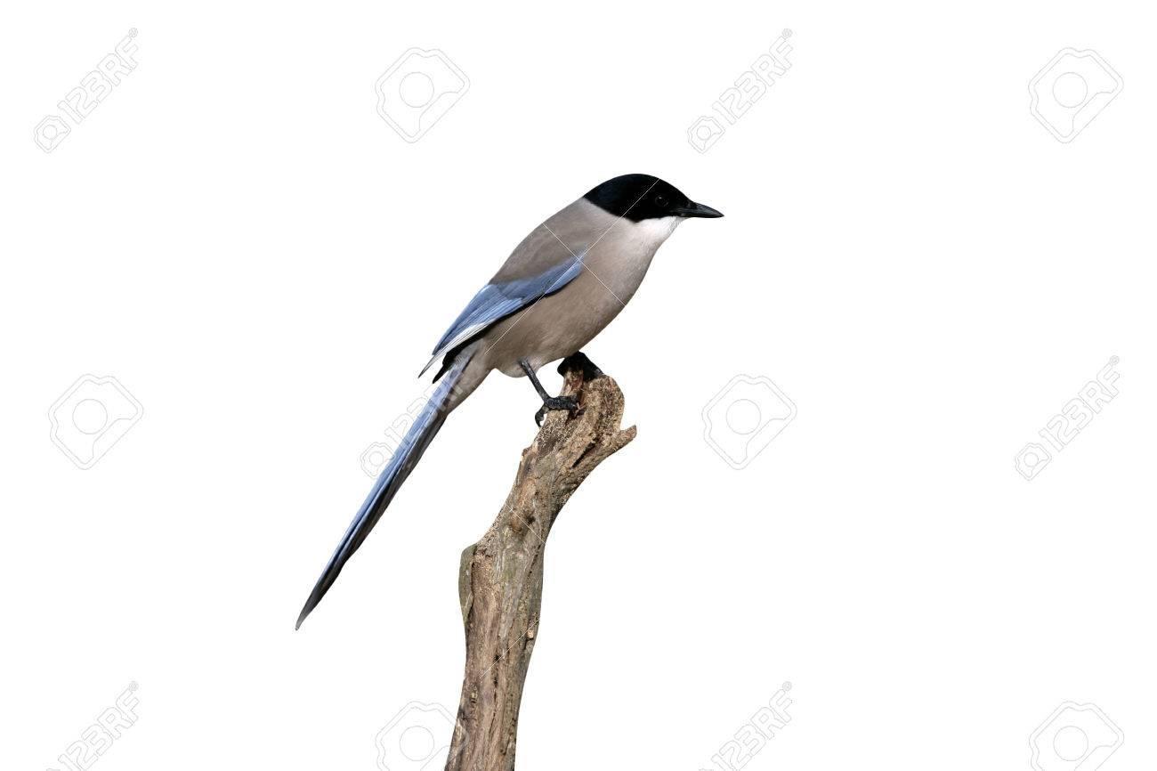 オナガcyanopica Cyanaブランチスペインの一羽の鳥 の写真素材