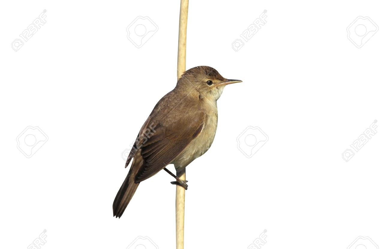 Reed Warbler Acrocephalus Scirpaceus Single Bird On Branch Stock Photo Picture And Royalty Free Image Image 67166775