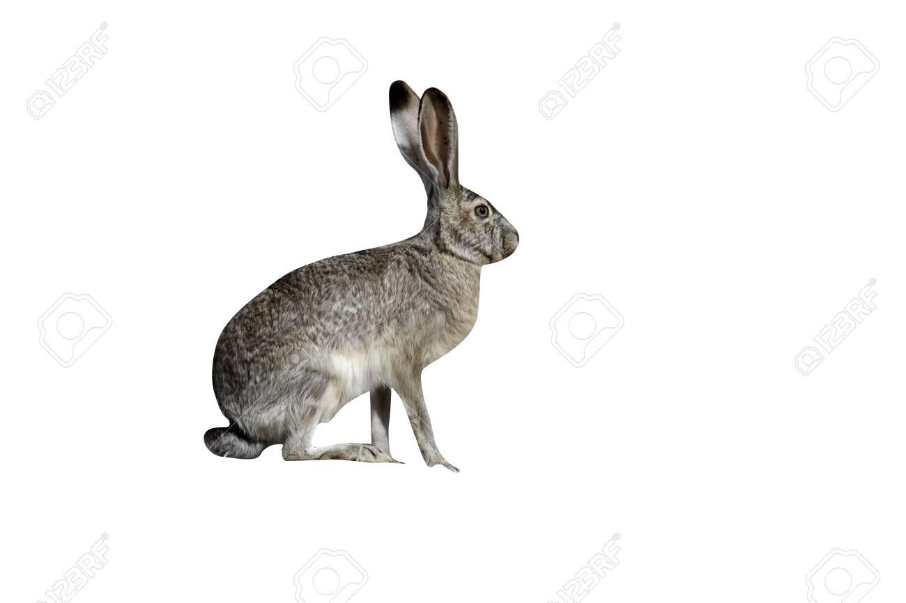 Jack Rabbit Usa >> Black Tailed Jack Rabbit Lepus Californicus New Mexico Usa
