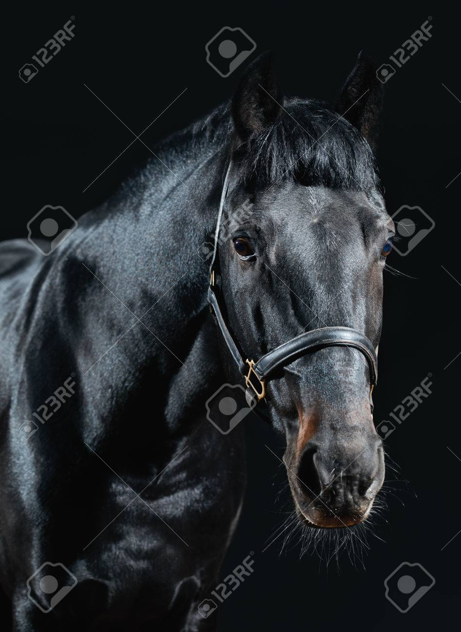 Beautiful Black Stallion Isolated On Dark Background Close Up Stock Photo Picture And Royalty Free Image Image 52116568