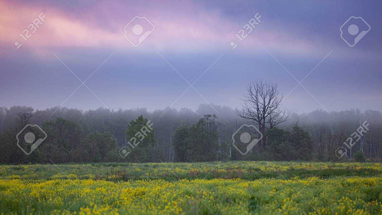 early morning mist over blooming fields and distant woods cloudy