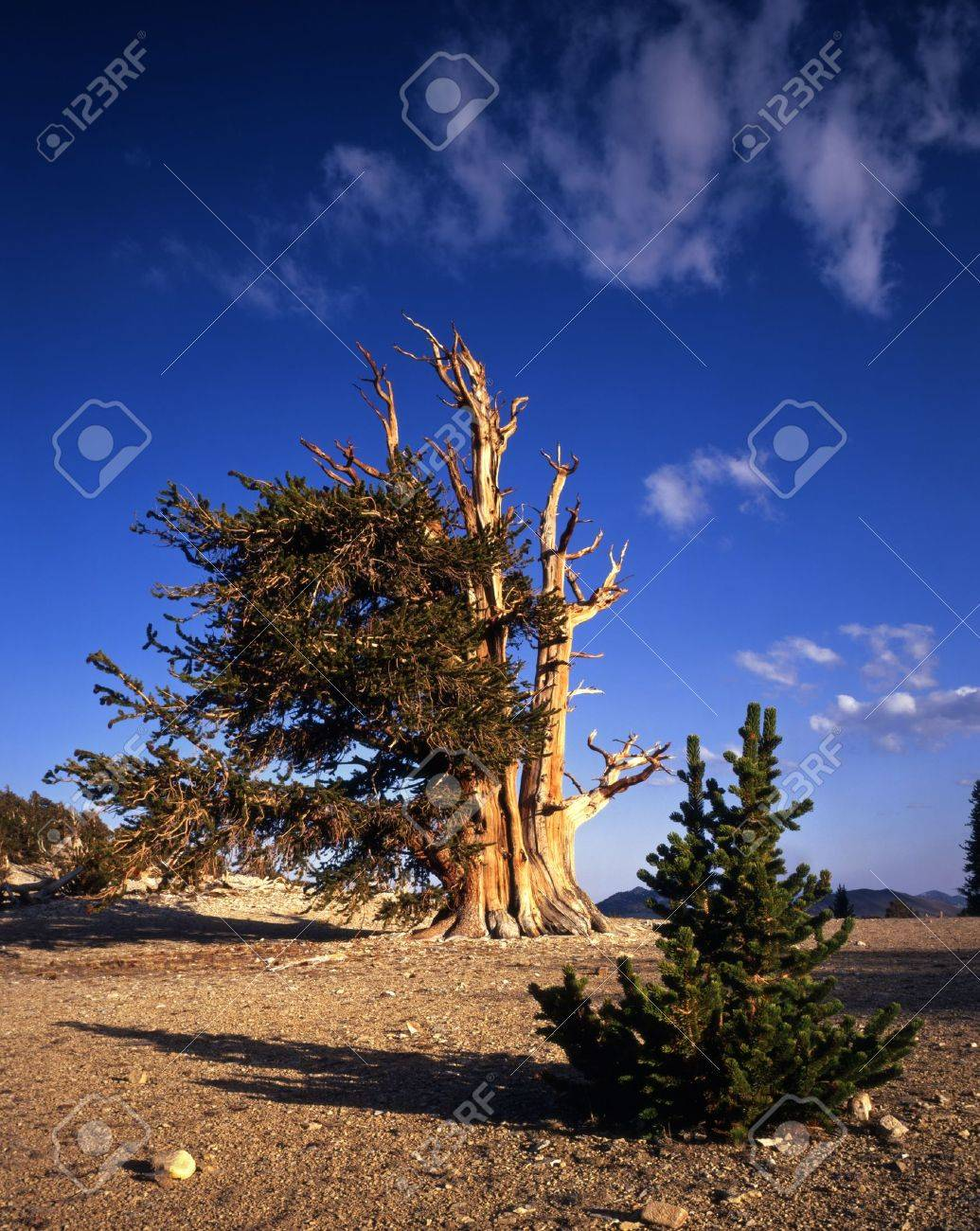 Young and old Bristlecone Pine Trees located in the Patriarch Grove section of the Inyo National Forest, California. Stock Photo - 1200808