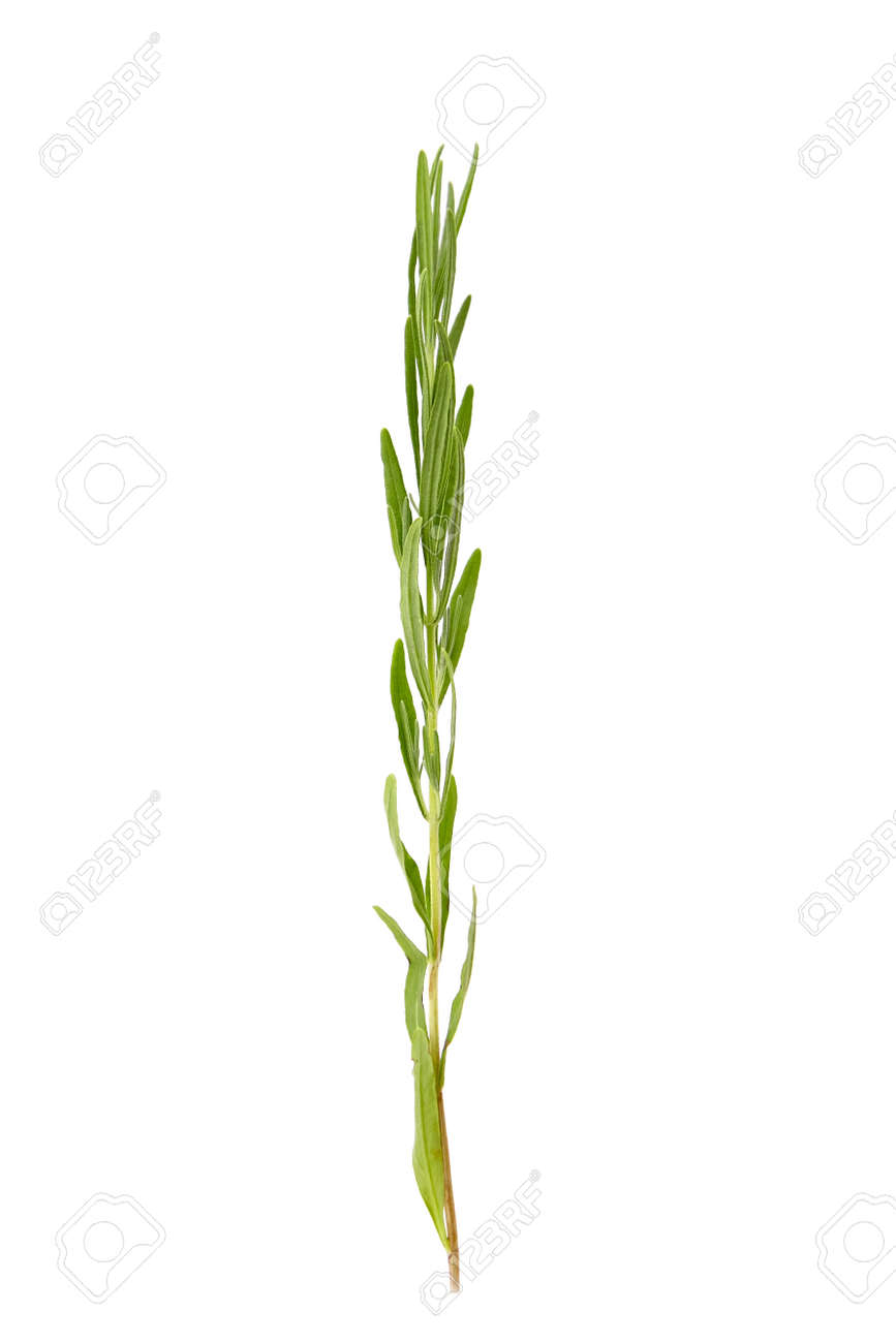 Lavender herb plant with green leaves isolated on white background. Fresh stem - 171630067