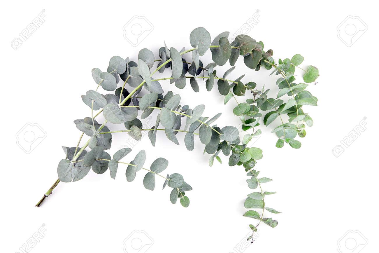 Eucalyptus leaves isolated on white background. Fresh green eucalyptus branch - 171629951