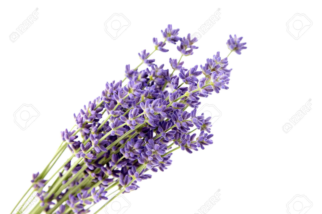 Bunch of purple lavender flowers isolated on white background. Fresh lavender flowers closeup - 171629770
