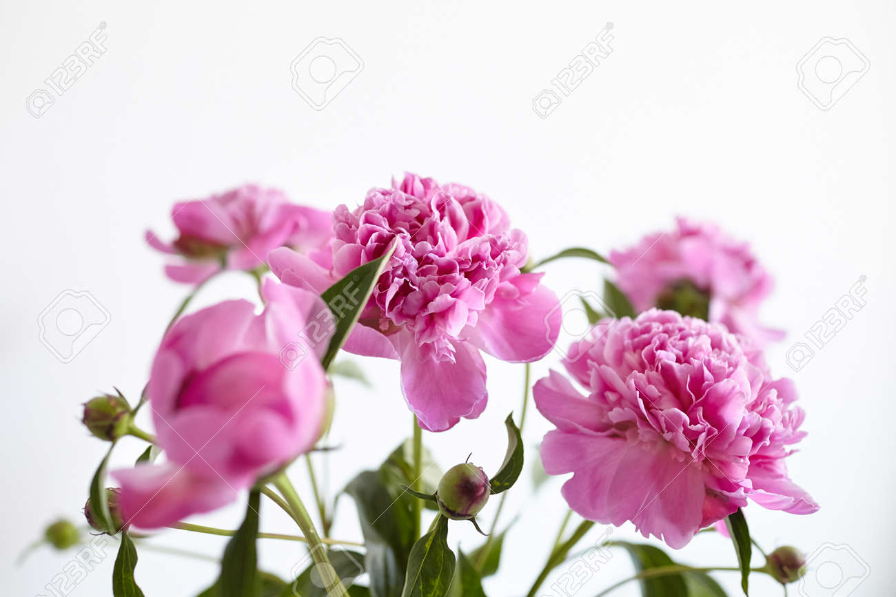 Bouquet of pink peony flowers on white wall background. Fresh peony with green stem and leaves - 171629691