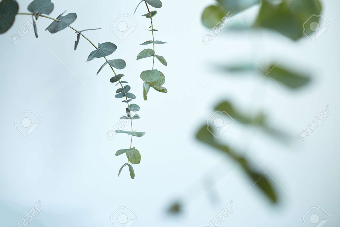 Eucalyptus leaves on white wall background. Fresh green eucalyptus branch, interior decor - 171629981
