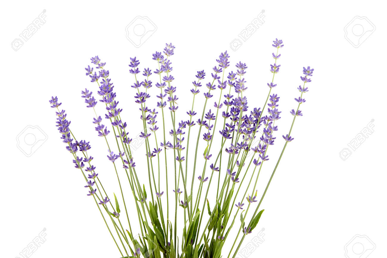 Lavender flowers stems with green leaves isolated on white background. A bunch of lavender herbs, purple aroma flowers - 171629991