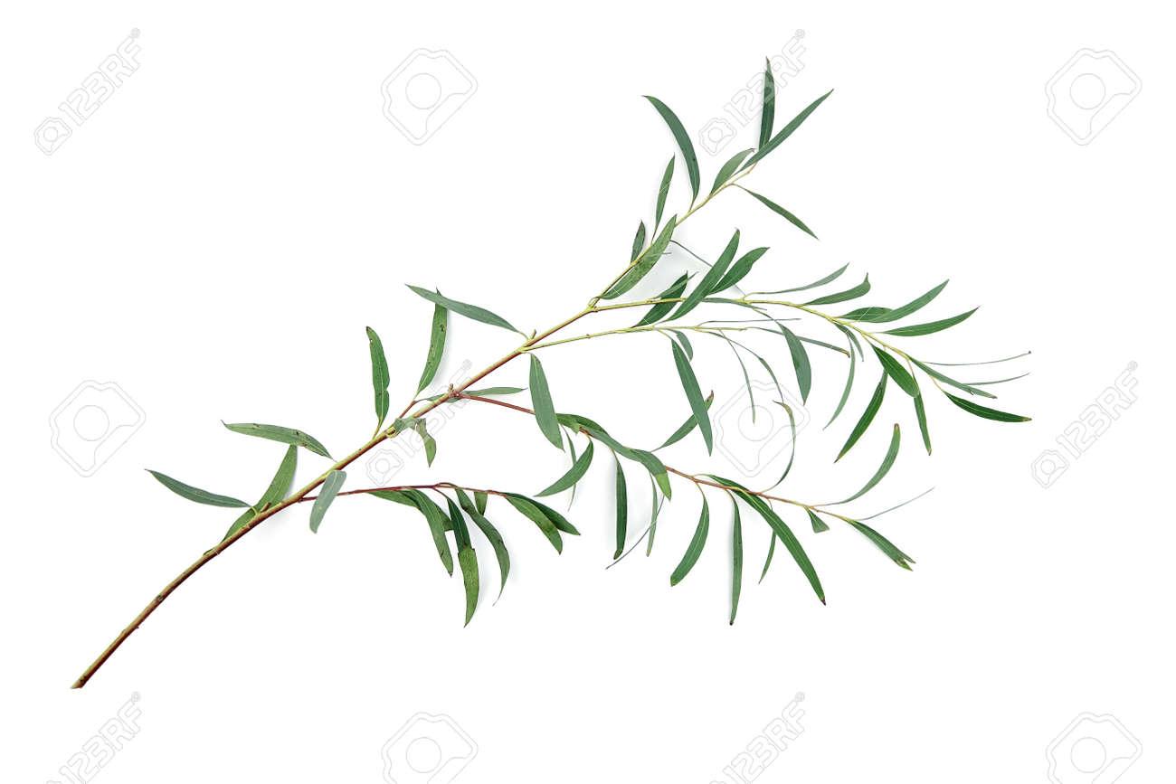 Eucalyptus leaves isolated on white background. Fresh green eucalyptus branch - 171629848