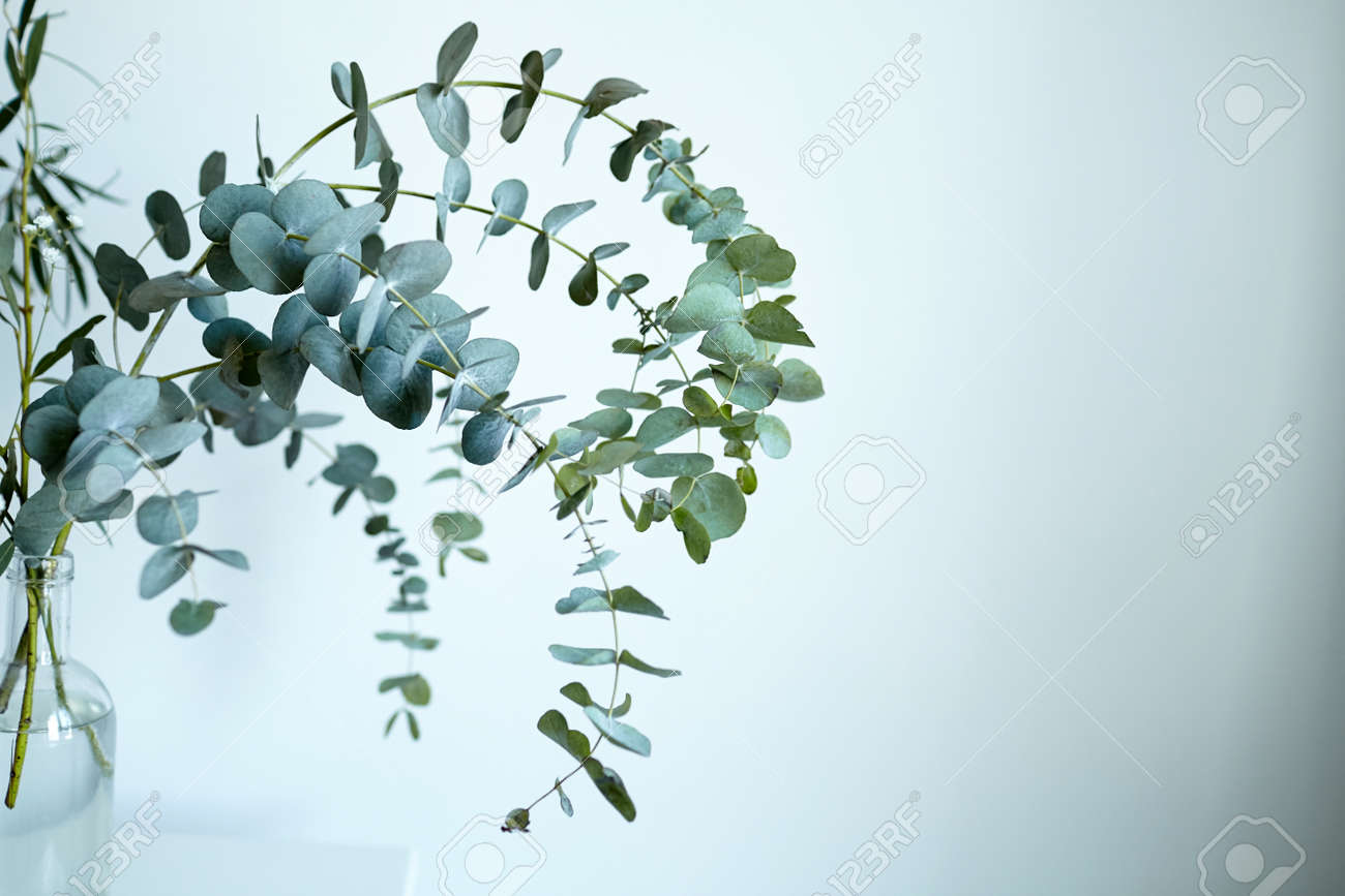 Eucalyptus branch in glass bottle on white wall background. Fresh green eucalyptus leaves, interior decor - 171629713