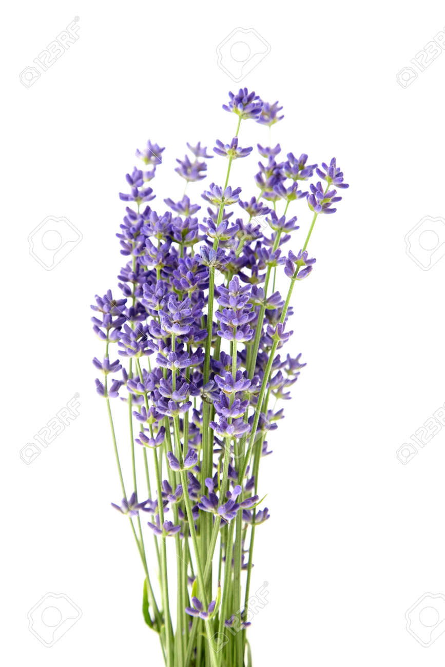 Lavender flowers stems with green leaves isolated on white background. A bunch of lavender herbs, purple aroma flowers - 171629545