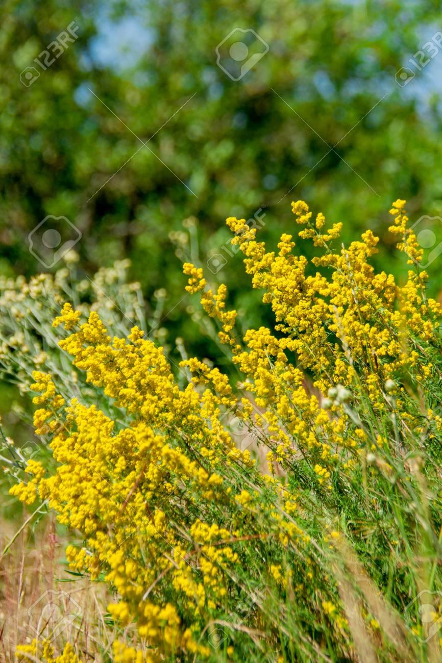 Montana De Flores Silvestres Amarillas Dia Arbusto Verano Fotos