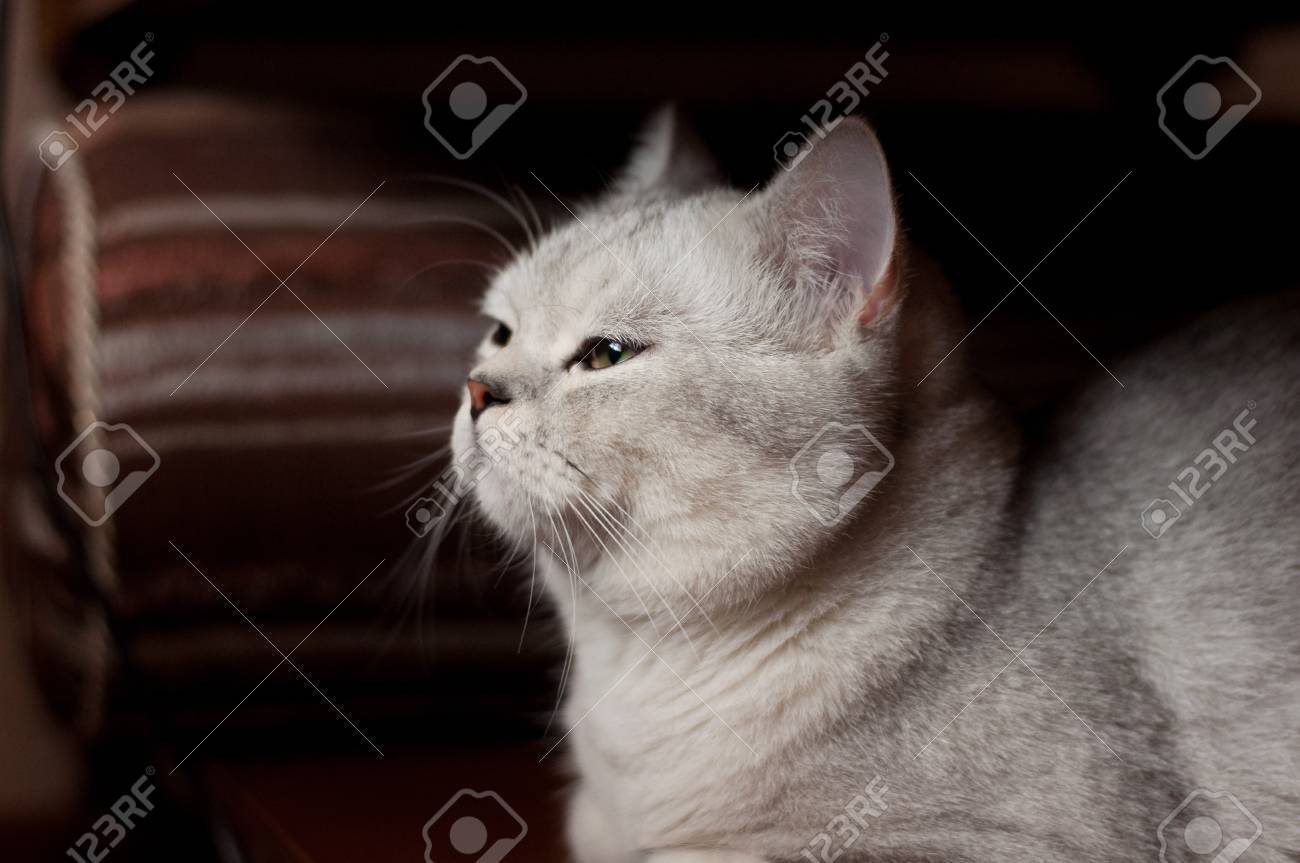 Beautiful Cat British Shorthair Breed Indoors Stock Photo Picture