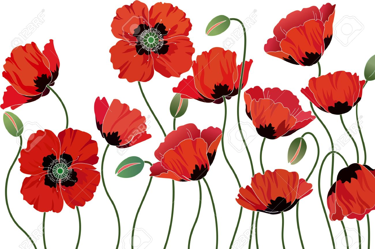 Red poppies isolated on white background - 27339475