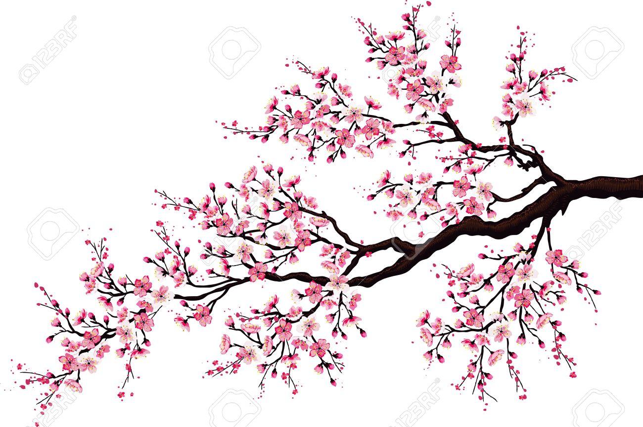 Branche De Cerisier branche d'un arbre en fleurs de cerisier isolé sur un fond blanc