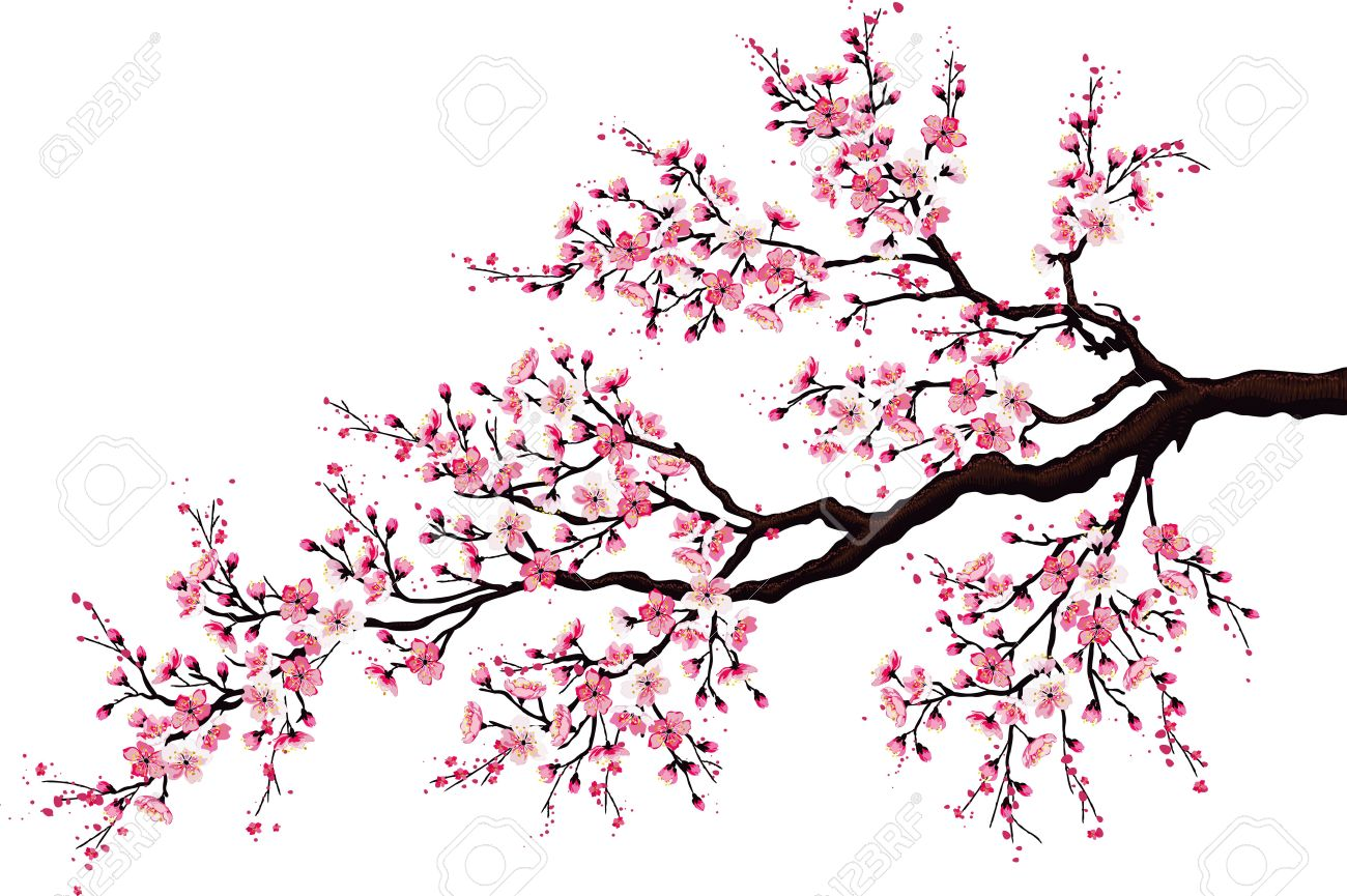 Branch of a blossoming cherry tree isolated on a white background - 35851834