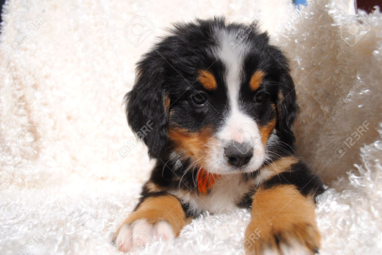 Forward looking small brown black and white bernese mountain dog puppy facing forward against a