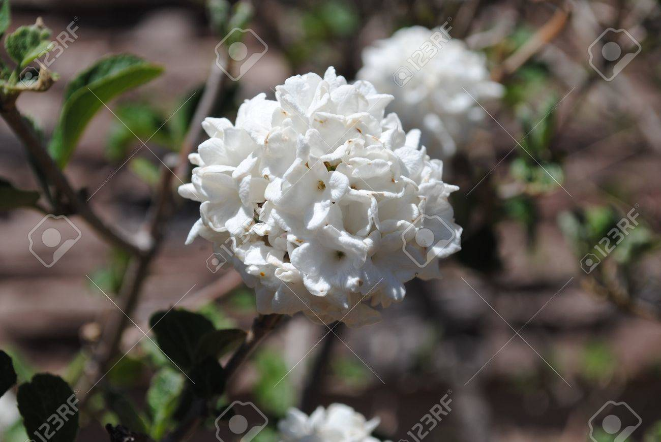 White snowball bush flowers blooming in spring close up stock white snowball bush flowers blooming in spring close up stock photo 20227445 dhlflorist Choice Image