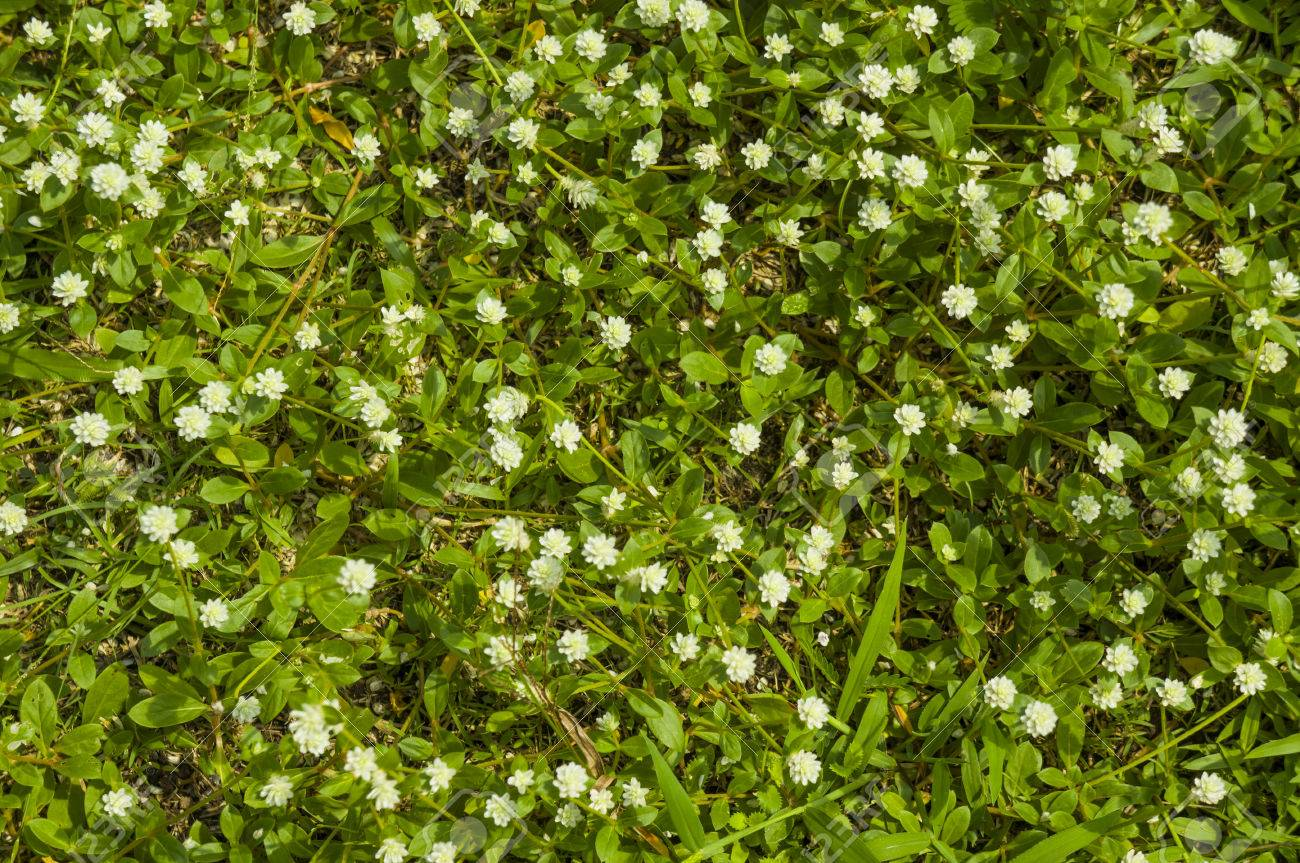 Green Grassy Lawn Blossoming Small White Flowers Stock Photo