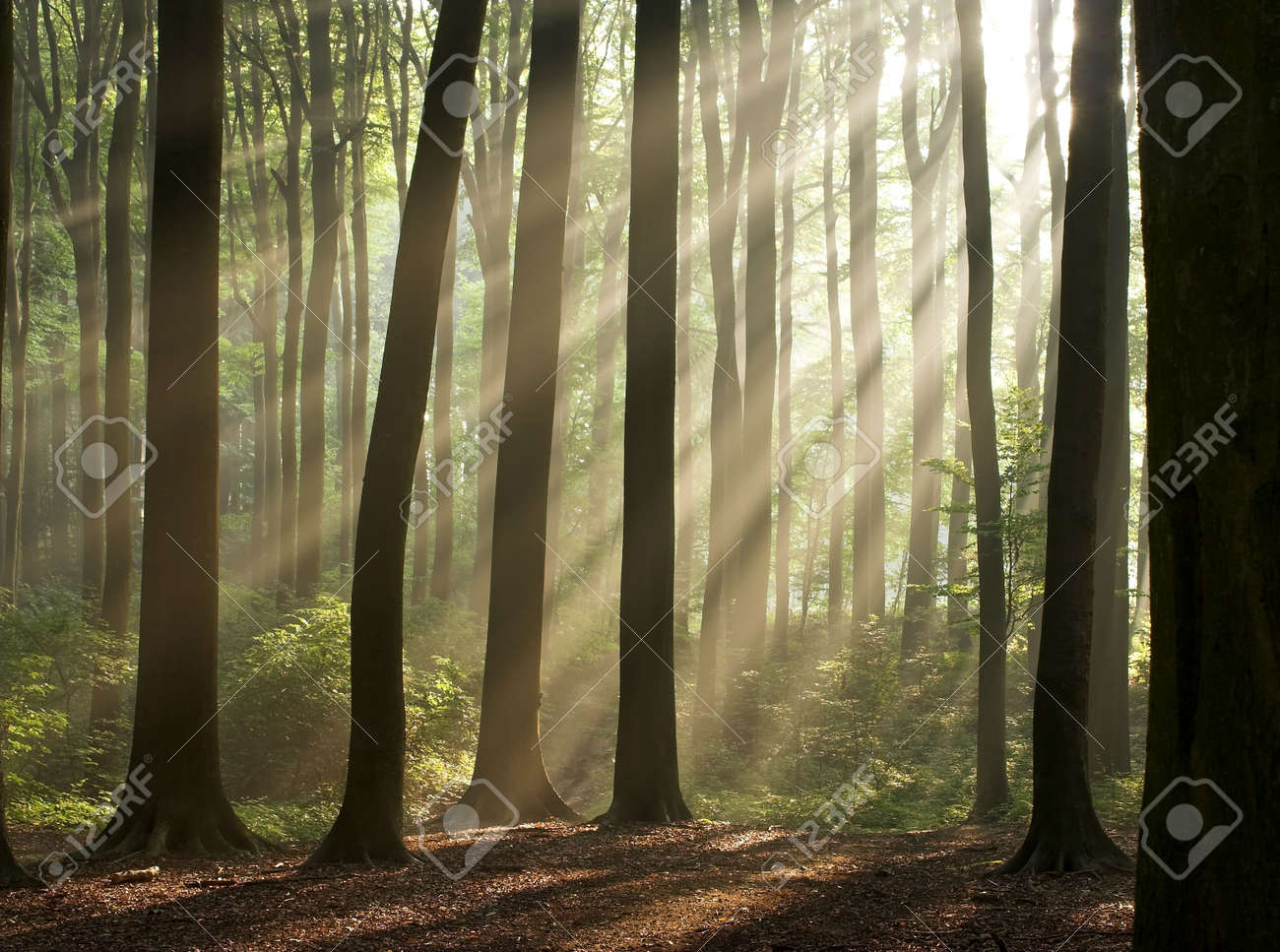 Sun rays crossing a misty forest photographed in an early autumn morning. Horizontal format. Stock Photo - 305287