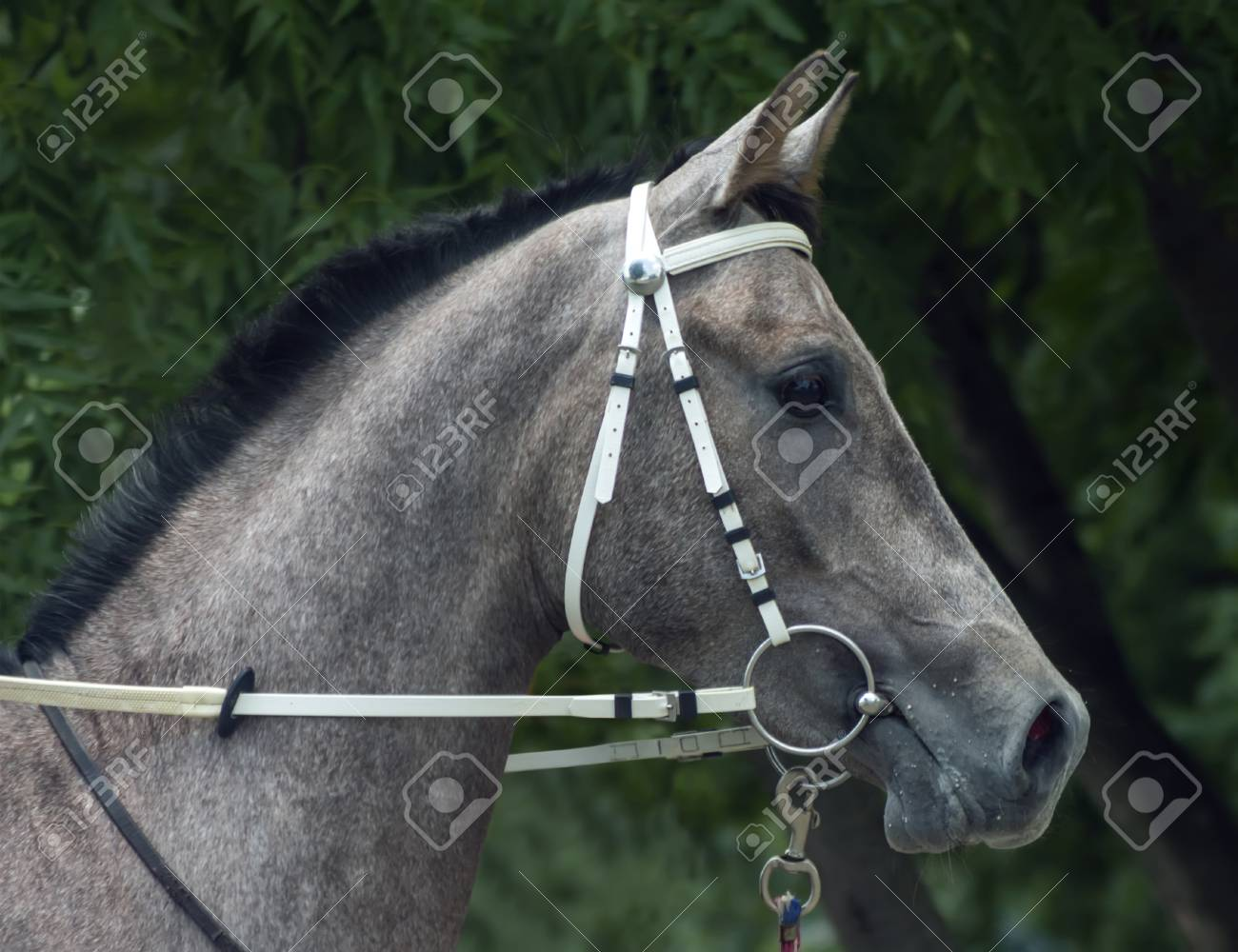 Grey Arabian Horse Stallion Portrait Northern Caucasus Stock Photo Picture And Royalty Free Image Image 106961128