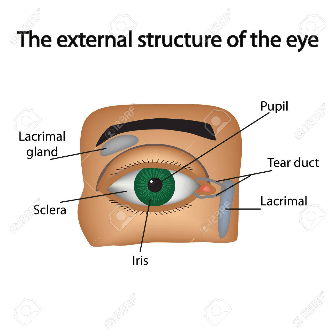 The External Structure Of The Eye. Vector Illustration. Royalty Free ...