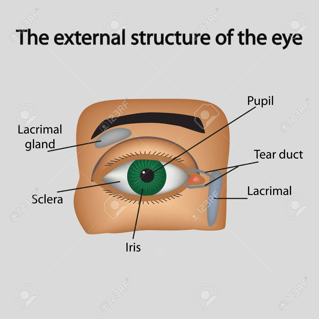Die äußere Struktur Des Auges. Vektor-Illustration. Lizenzfrei ...