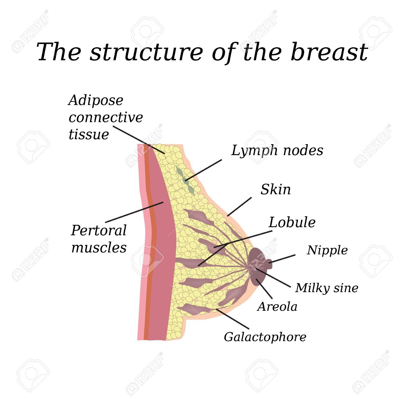 Perfect Anatomy Of Mammary Gland Gift Anatomy And Physiology