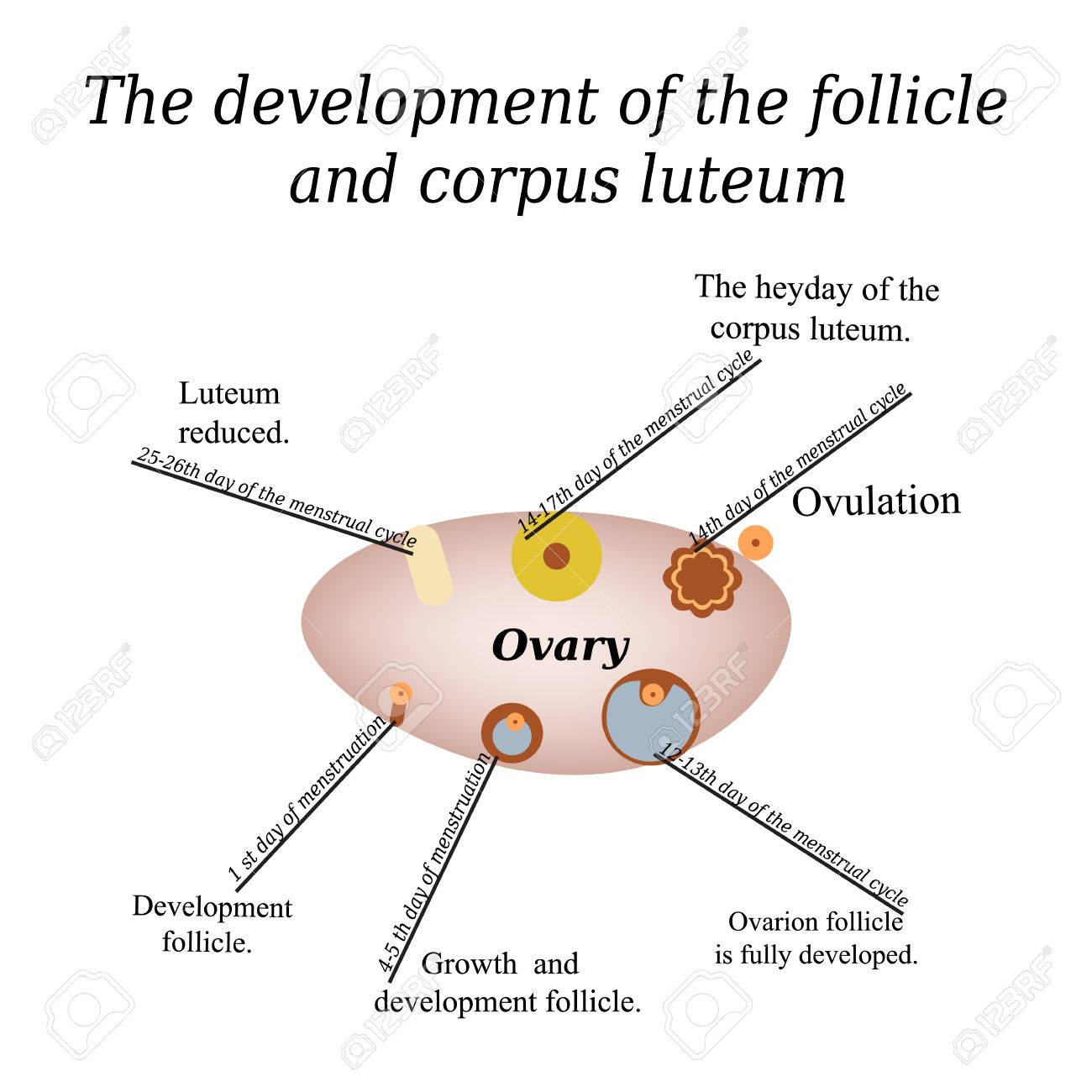 ovary corpus albicans diagram wiring diagram online Diagram of Corpus Luteum it shows the development of ovarian follicle and corpus luteum cyst on ovaries ovary corpus albicans diagram