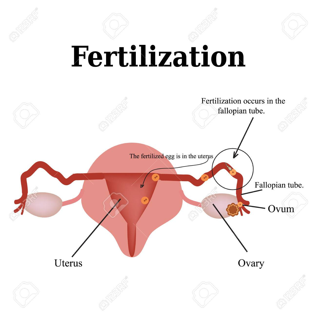 diagram of the structure of the pelvic organs  fertilization  vector  illustration on isolated background