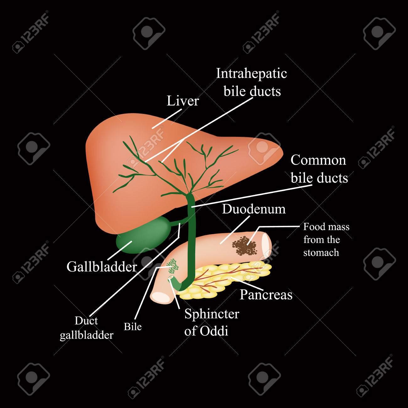 La Estructura Anatómica Del Hígado, La Vesícula Biliar, Los ...