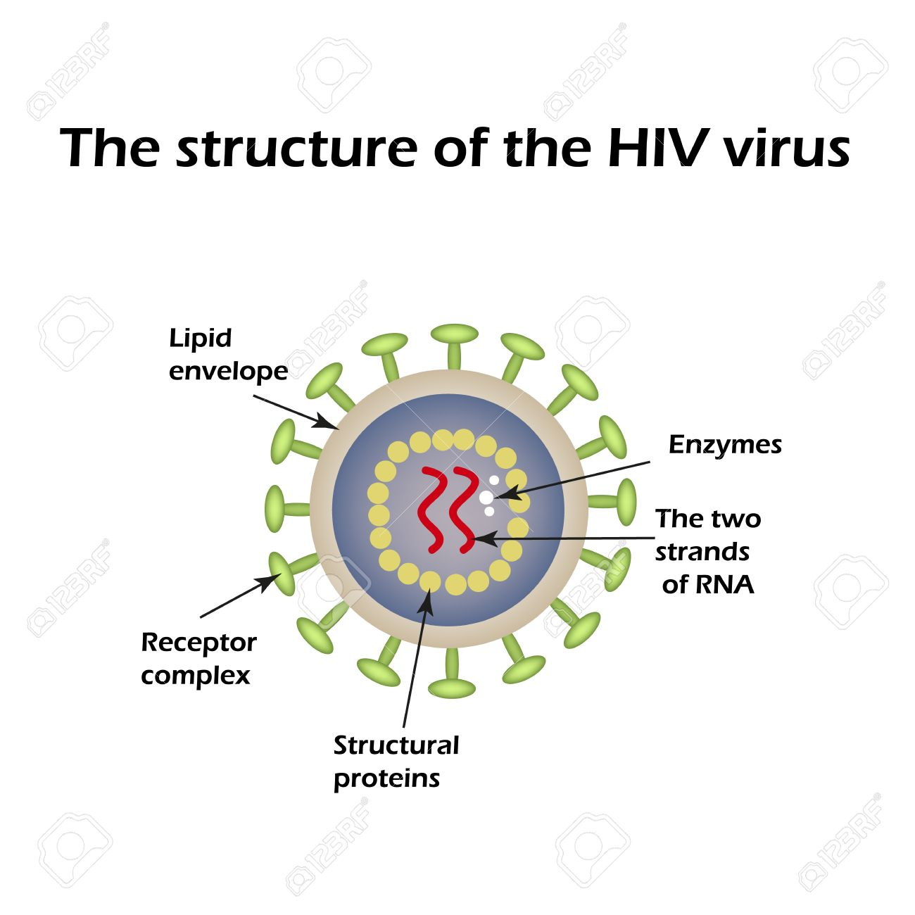 The Structure Of The Aids Virus Hiv World Aids Day Vector