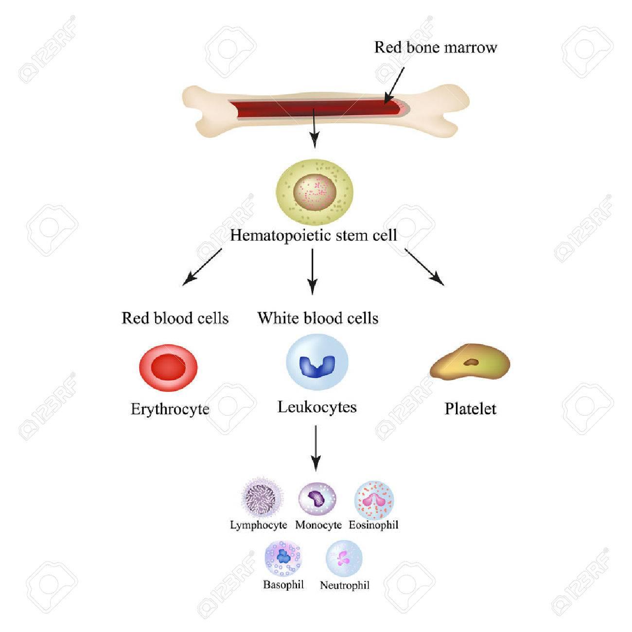 Limbo blood cells in bone marrow infographics vector illustration limbo blood cells in bone marrow infographics vector illustration imagens 51210435 ccuart Choice Image