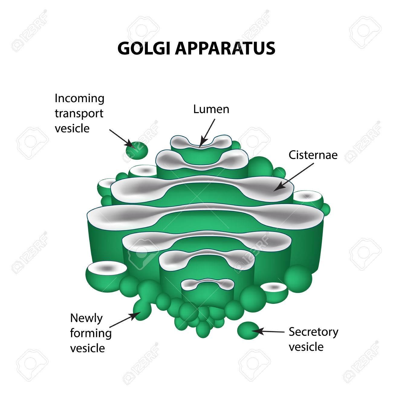 golgi body diagram labeled wiring diagram detailed