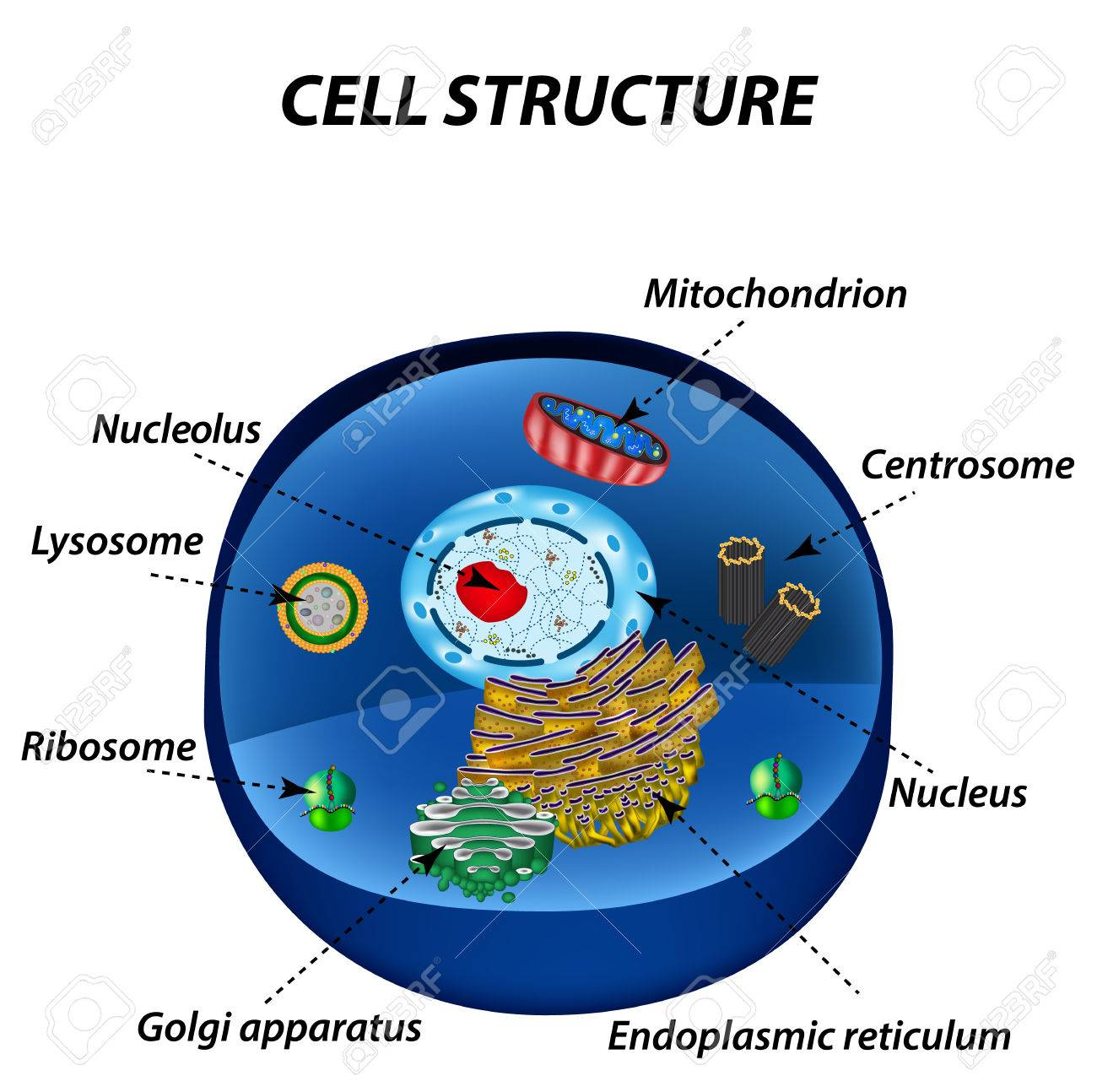 Structure of human cells organelles the core nucleus endoplasmic structure of human cells organelles the core nucleus endoplasmic reticulum golgi apparatus ccuart Gallery