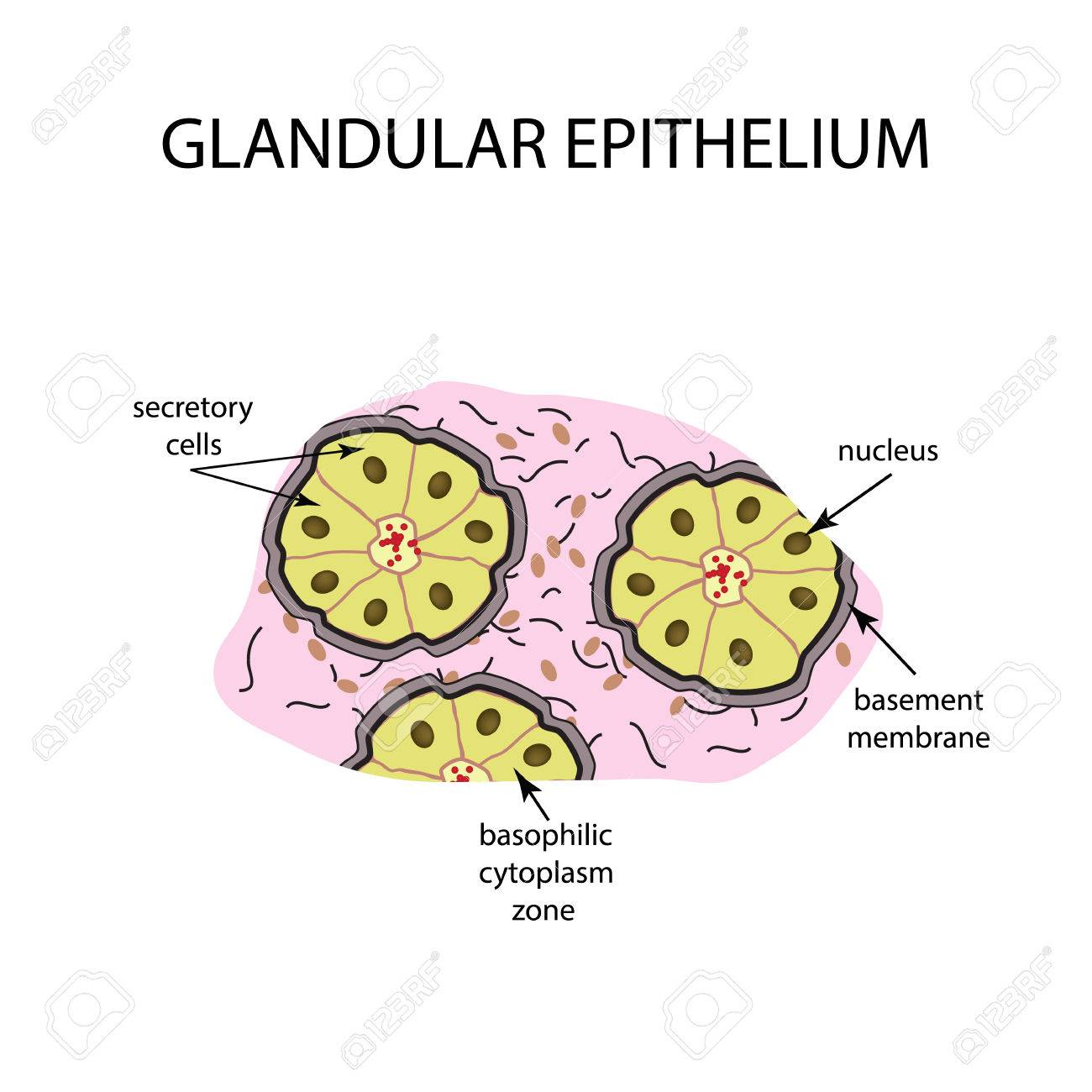 Glandular Epithelium Diagram