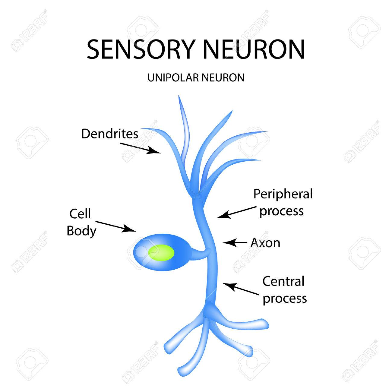 The structure of the sensory neuron infographics vector the structure of the sensory neuron infographics vector illustration on isolated background stock ccuart Image collections